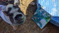 pig at animal sanctuary